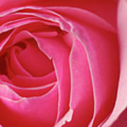 Pink Rose Dof Poster