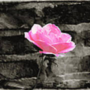 Pink Rose In Black And White Poster