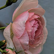 Pink Rose Poster by Leif Sohlman