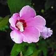 Pink Rose Of Sharon 2 Poster