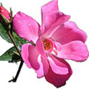 Pink Rose With Bud Poster