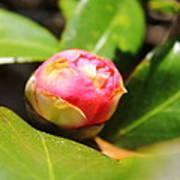 Pink Rosebud Poster