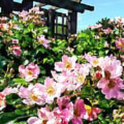 Pink Roses Near Trellis Poster