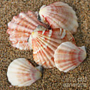 Pink Shells Poster