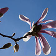Pink Spring - Blue Sky And Magnolia Blossoms Poster