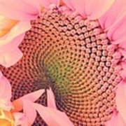 Pink Sunflower Poster