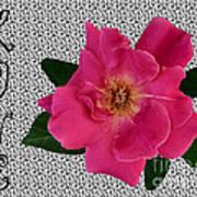 Pink Tea Rose Love Poster