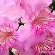 Pink Thunbergia Poster