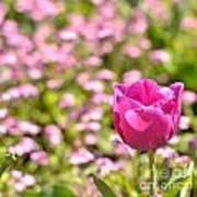Pink Tulip Close-up Poster