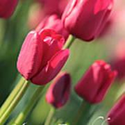 Pink Tulip Dream Birthday Card Poster