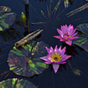 Pink Water Lilly Poster