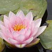 Pink Water Lily And Leaves Poster