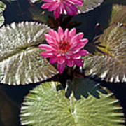 Pink Water Lily IIi Poster
