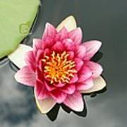 Pink Waterlily And Cloud Reflection Poster