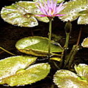 A Waterlily Reflection Poster