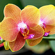 Pink Yellow Orchid Poster by Rona Black