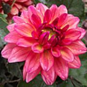 Pink Zinnia Flower Poster