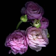 Pinkalicius Ranunculus... Pink For Poster