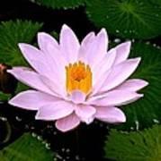 Pinkish Lotus Flower Poster