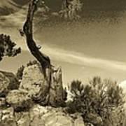 Pinon Pine Poster