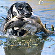 Pintail Retrieve Poster