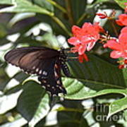 Pipevine Swallowtail IIi Poster