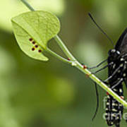 Pipevine Swallowtail Mother With Eggs Poster