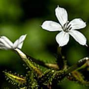 Pixie Flower Poster