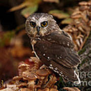 Pixie Saw Whet Owl Watching You Poster