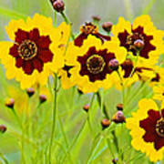 Plains Coreopsis Poster