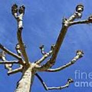 Plane Tree Poster