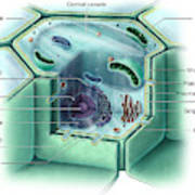 Plant Cell, Illustration Poster
