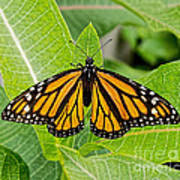 Plant Milkweed And Save The Monarch Butterfly Poster