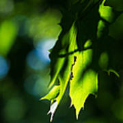 Play Of Light On Maple Leaves Poster