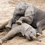 Playful Elephant Calves Poster