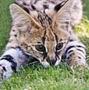 Playful Serval Poster