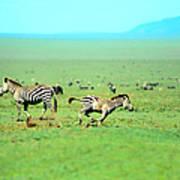 Playfull Zebras Poster