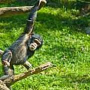 Playing Chimp Poster