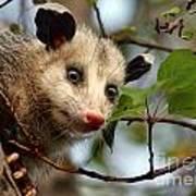 Playing Possum Poster
