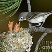 Plumbeous Vireo Feeding Chicks In Nest Poster