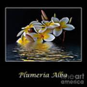 Plumeria Alba Poster