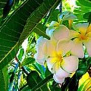 Plumeria Beauty Poster