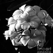 Plumeria Black White Poster