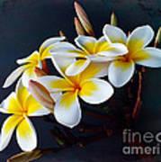 Plumeria Bouquet 2 Poster