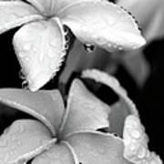 Plumeria Drip Poster