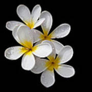 Plumerias Isolated On Black Background Poster