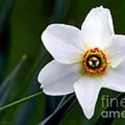 Poet's Daffodil Poster