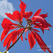 poinsettia from Madagascar Poster