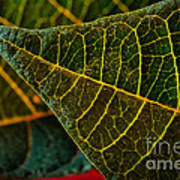 Poinsettia Green Leaf Poster