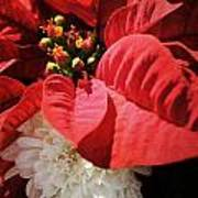 Poinsettia In Bloom Poster